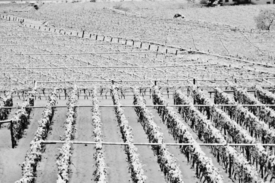 Le vigne di soave sotto la neve. Gelata del 1985.